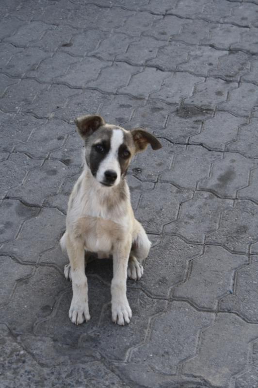 Kazakh Dog