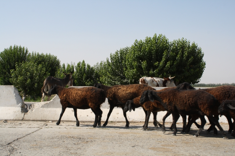 Cattle, Uzbekistan