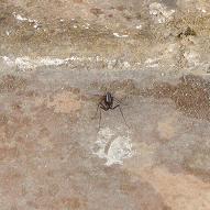 Spider Ant hybrid