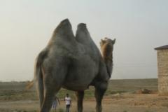 Camel, Uzbekistan